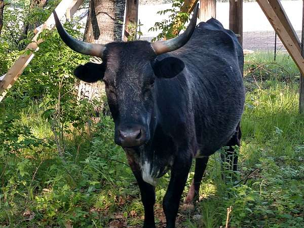 black-ruby-horned-cattle-for-sale