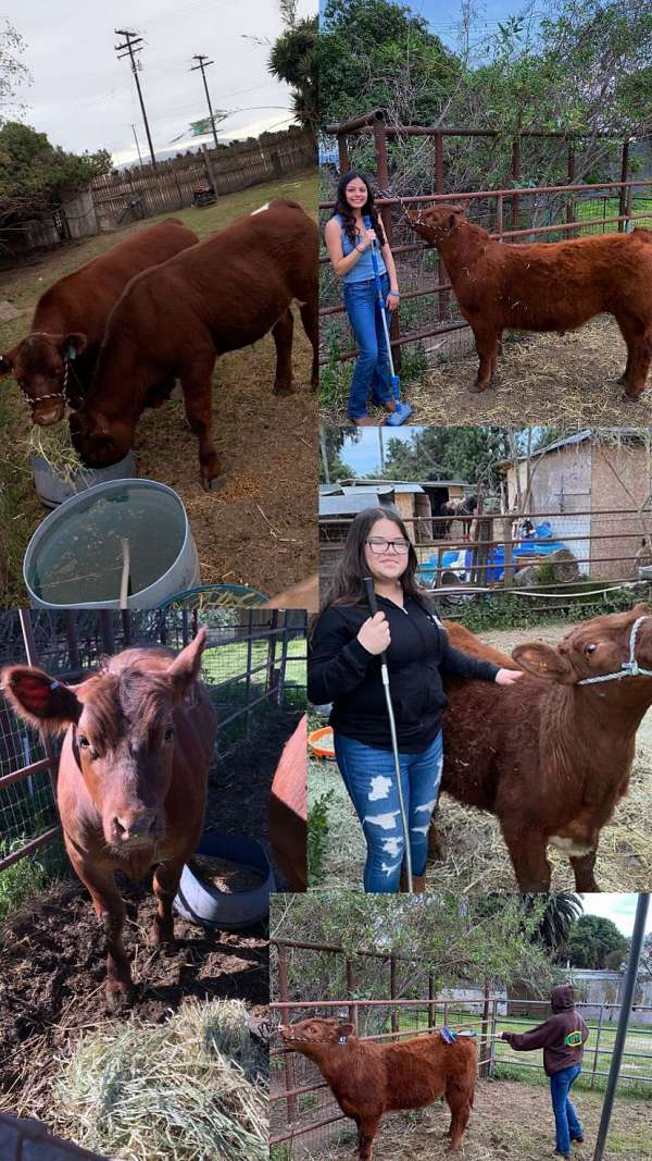 steers-for-sale