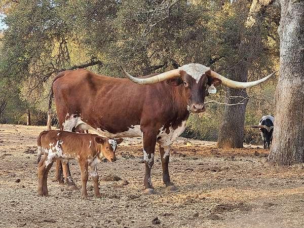 chestnut-white-horned-cattle-for-sale